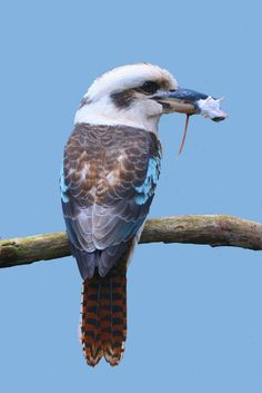 Laughing Kookaburra (Dacelo novaeguineae) with Lunch Big Bird, Small Birds, Beautiful Birds, Animals Beautiful, Kingfisher Bird, Australian Animals, Vertebrates, Bird Pictures, Bird Watching