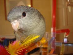 Mauve Lineolated Parakeet #happytails