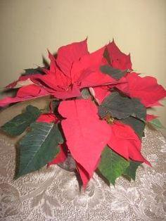 Poinsecja, gwiazda betlejemska, wilczomlecz nadobny, Euforbia pulcherrima, Poinsettia, uprawa gwiazdy betlejemskiej, rośliny doniczkowe, rośliny pokojowe, rośliny na dekoracje świąteczne, rośliny efektownie kwitnące, rośliny na zimę, rośliny łatwe w uprawie, rośliny na Boże Narodzenie