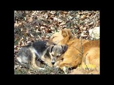About Rudozem Street Dog Rescue - Video Documentary - Street Dogs in Bulgaria and the Rescue that helps them find loving homes.