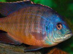 Find information about keeping the Super Red Empress Cichlid or Protomelas taeniolatus (Red) in a home aquarium, including advice for feeding and breeding your Super Red Empress Cichlid. Ocean Aquarium, Tropical Fish Aquarium, Home Aquarium, Freshwater Aquarium Fish, Malawi Cichlids, African Cichlids, Cichlid Fish, Fish Care, Angel Fish