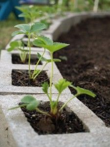 Put strawberry plants in concrete blocks edging a garden