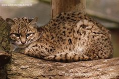 Geoffroy's cat - lives in: Argentina weighs: 4 to 11 pounds length: 24 in tail length: 12 in eats: rodents, hares, lizards, insects, frogs, and fish.
