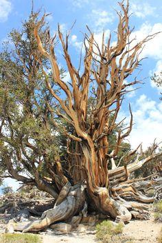 Pin bristlecone sur le Schulman Grove, Big Pine, États-Unis -