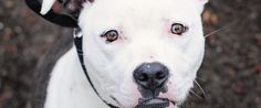 These 75 New York-Area Pit Bulls Are Looking For Forever Homes #nyc #pitbulls #rescue #dogs