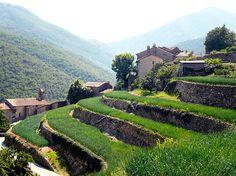 Culture d'oignons doux en terrasses à Taleyrac, dans les Cévennes