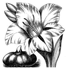 Vintage Clip Art - Flower Engravings - Gladiolus and Dahlias - The Graphics Fairy