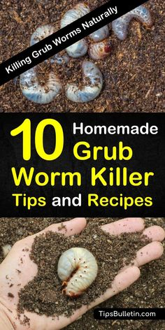 how to get rid of grubs worms, the larval of Japanese beetles before they can destroy your plants and lawn. These common garden pests, if left unchecked will kill your yard. Discover homemade grub killer tips and recipes to deal with these common insects. Garden Insects, Garden Pests, Gardening For Beginners, Gardening Tips, Organic Gardening, Vegetable Gardening, Gardening Services, Veggie Gardens, Organic Farming
