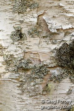 Paper Birch bark, Acadia National Park, Bar Harbor, Maine by Greg Forcey
