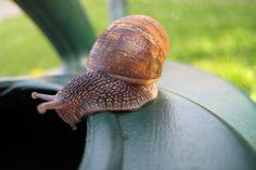 Get rid of garden slugs & snails naturally | The Rural NZ | #slugs #snails #gardening