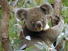 pictures of koala bears   100% Soy Large Square Mason Jar Candle