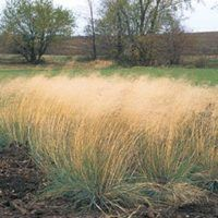 5 Ways To Design With Ornamental Grasses | Grow Beautifully WIND DANCER LOVEGRASS