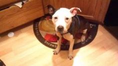 Lilah is an adoptable Pit Bull Terrier Dog in Chicago, IL. Beautiful Lilah is a very sweet girl who loves to give kisses and hugs. She is very good with dogs her size and loves to play with them. Lola...