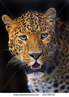 Portrait of a Leopard in the wild habitat - stock photo
