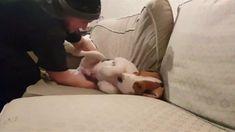 Nel video postato su Facebook dal britannico Sam Winters i tentativi, vani, di spostare dal divano di casa il cane Kabamba, un beagle di cinque...