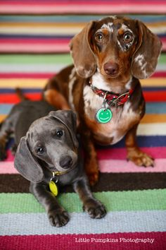 This is the type of doggy we are getting when we buy a house! I love dachshunds, grew up with them my whole life, best dogs!