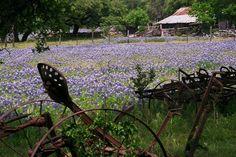 Bluebonnets...Texas Style