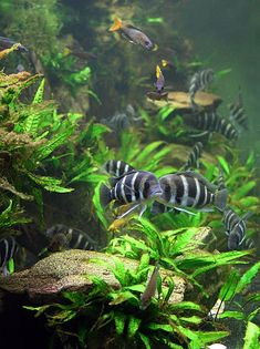Lake Tanganyika community setup  8-foot-view....This is on my wish list as a set up. Think I will stop my collection once I get this set up. I want to have African Butterfly fish, Yellow Congo Tetra and African Butterfly Cichlid fish.