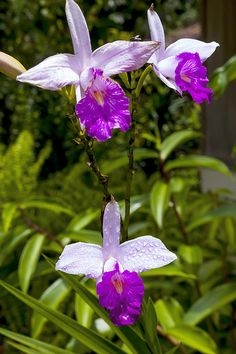 The bamboo orchid, Arundina graminifolia, is a species of orchid and the sole accepted species of the genus Arundina. This tropical Asiatic genus extends from India, Sri Lanka, Nepal, Thailand, Vietnam, the Ryukyu Islands, Malaysia, Singapore, China to Indonesia, the Philippines and New Guinea. It has become naturalized in Réunion, Fiji, French Polynesia, Micronesia, the West Indies, Costa Rica, Panama and Hawaii. http://en.wikipedia.org/wiki/Arundina