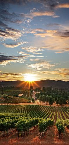 Sunset Vineyard in Santa Maria, California • photo CentralCoastLIVE! Great wines from the Central coast! Santa Barbara and Ventana Vinyards (Big Sur) are giving Napa some serious competition.