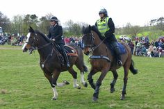 Police horses galloping in the ring at the Festival of the Heavy Horse 2013 in Northumberland, England.