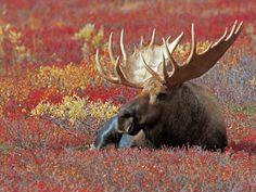 Bull Moose in Denali National Park, Alaska, USA Photographic Print ...