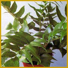 Der Sichelfarn ist einer der einfachsten Farne. Farne, so hört man oft, sind im Wohnzimmer problematisch. Dieser hier ist eine Ausnahme: Er verträgt nicht nur trockene Luft und Schatten, sondern sogar Zug. Und hübsch ist er noch dazu. Anscheinend ist der Sichelfarn (Cyrtomium falcatum) so etwas wie ein verkanntes grünes Genie.  http://www.zimmerpflanzenfreunde.de/Sichelfarn.html