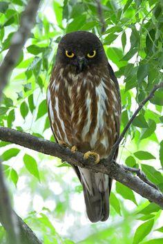 Brown hawk-owl (Ninox scutulata)