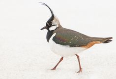 Cool looking bird (Lapwing), Finland.
