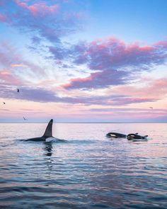 Orcas, Lofoten, Big Hugs, Killer Whales, Pink Sky, Zoology, Wildlife Photography, Under The Sea, Sunrise