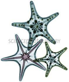 X-ray of starfish.