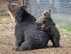 A strip mall is no place for a wild animal, especially not a bear.or 17 bears for that matter. Read the story of their incredible rescue and see how happy they are living at The Wild Animal Sanctuary. Black Bear, Brown Bear, Wild Animal Rescue, Wild Animal Sanctuary, Bear Species, New Life, Spirit Animal, Animal Kingdom, Pet Care