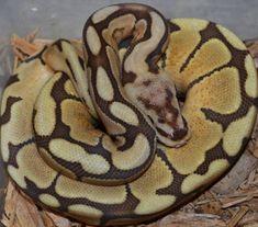 10 Best Caramel Albino Ball Python images in 2017 | Snakes