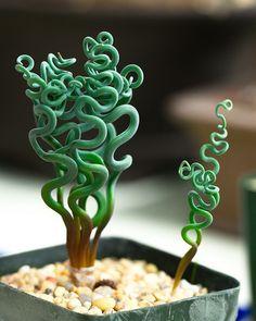 A type of Crassula succulent -- Trachyandra tortilior Trachyandra sp.