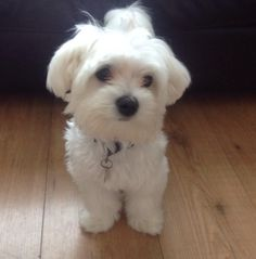 Bertie looking way to innocent Baby Animals, Cute Animals, Coton De Tulear, Malteser, Shih Tzu Dog, Small Dogs, Puppy Love, Dog Cat, Puppies