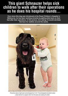 彼は彼の病院のラウンドを行うように子どもたちが歩くのに役立ちます巨大シュナウザー...
