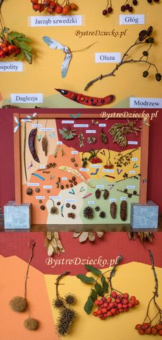 Fall, autumn crafts - Educational board for kids, botanical model of fruit trees - cone, maple, acacia, rowan, etc.