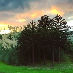 Pampas Grass Monkey Puzzle #Trees and Vanilla #Sky. Hard to believe that this is in the centre of #Leeds next to the #A58! #plants #flora #nature #skyporn #pampasgrass #monkeypuzzle #Yorkshire #leisure #life #travel #tourism #tourist #green