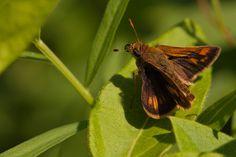 Byssus Skipper - Longwood Gardens, Kennett Square, PA