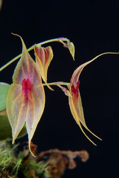 Orchid Lepanthes Schugii Looks Like A Leaf Unusual Flowers, Rare Flowers, Amazing Flowers, Beautiful Flowers, Unusual Plants, Exotic Plants, Mini Orquideas, Miniature Orchids, Orchidaceae