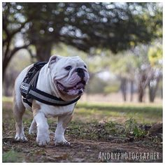 """Naturaleza!!!✨ @andryjons #Bulldogsmcbo #bulldogs"" Photo taken by @capo.bulldogvzla on Instagram, pinned via the InstaPin iOS App! http://www.instapinapp.com (03/31/2015)"