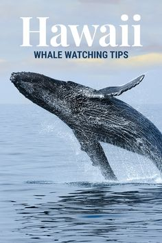 Hawaii Whale Watching: Things You Need to Know
