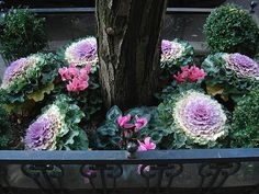 Ornamental cabbage & pink cyclemen with boxwood in the corners.