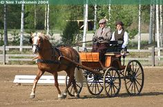 #Finnhorse stallion Vahto has been successful both in eventing and combined driving.
