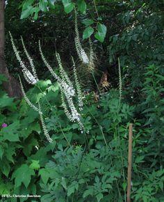 Black Snakeroot (Sanicula marilandica) Prairie Garden, Plant Identification, Flower Food, Places Of Interest, Native Plants, Shade Garden, Cactus Plants, Shrubs, Habitats