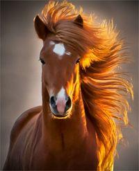Icelandic horses. Riding horses in Iceland. Iceland pony travels. Equestrian Horseback Riding Vacations. Raiding holidays. Hotels in Iceland.