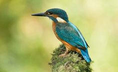 Common Kingfisher, Eurasia and North Africa