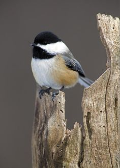 """Black-capped Chickadee Greeting Card for Sale by Gerald Marella. Our premium-stock greeting cards are 5"""" x 7"""" in size and can be personalized with a custom message on the inside of the card. All cards are available for worldwide shipping and include a money-back guarantee."""