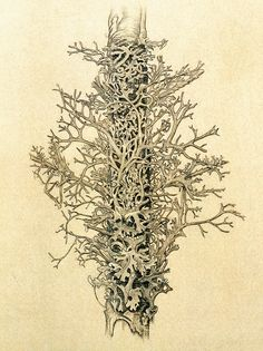 Alfred Cossman | Flickr - Photo Sharing!. Lichen, 1942