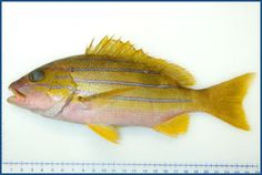 Lutjanus kasmira - Common Bluestripe Snapper 四間畫眉